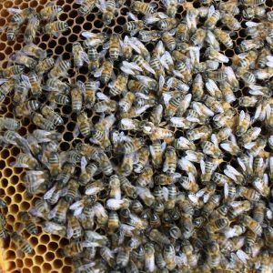 Cotswold Birds & Bees - Bees